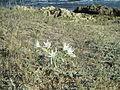 PikiWiki Israel 45306 Sea daffodil in Dor (Tantura) beach.JPG