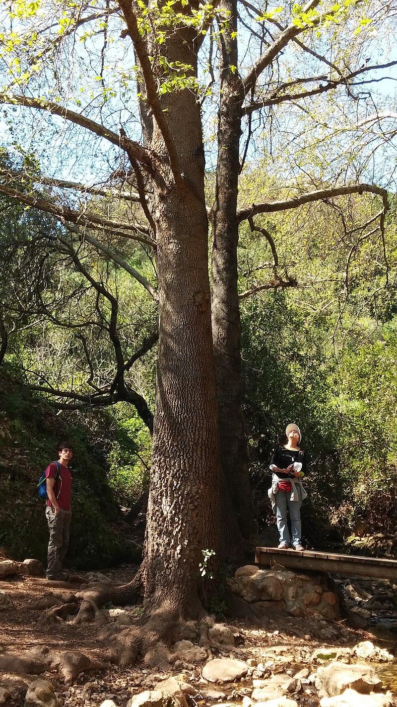 עץ המיש בנחל עמוד