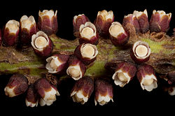 Pilostyles hamiltonii.jpg