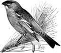 Pine Grosbeak-Birdcraft-0208-26.png