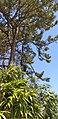 Pine tree and bamboo.jpg