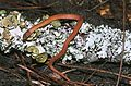 Pine woods snake rhadinaea flavilata on a lichen covered log.jpg
