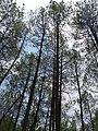 Pineforest20028.jpg