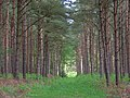 Pines near Conford - geograph.org.uk - 439671.jpg