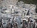 Pinguinos de Humboldt.jpg