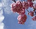 Pink Cherry Blossom 1 (4565989742).jpg