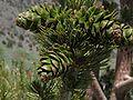 Pinus flexilis cones TelescopePeak.jpg