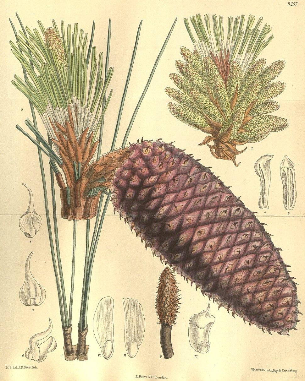 Pinus jeffreyi 135-8257