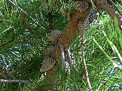 Pinus muricata branch showing typical spiny cones.jpg