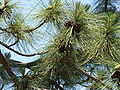 Pinus ponderosa benthamiana foliage cones.jpg