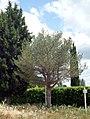 Pinus sylvestris Tinaia.jpg