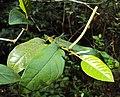 Piper colubrinum 01.JPG