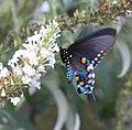 Pipevine Swallowtail (2794160543).jpg
