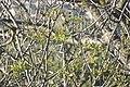 Pistacia atlantica-3184.jpg