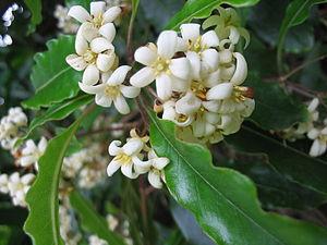 Pittosporum undulatum - Image: Pittosporum undulatum (Flower)