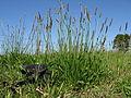 Plantago lanceolata plant4 (14942335852).jpg