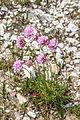 Plants from Cinque Torri 06.jpg