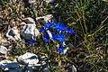 Plants from Drei Zinnen 01.jpg