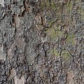 Platane, sycamore tree - panoramio (5).jpg