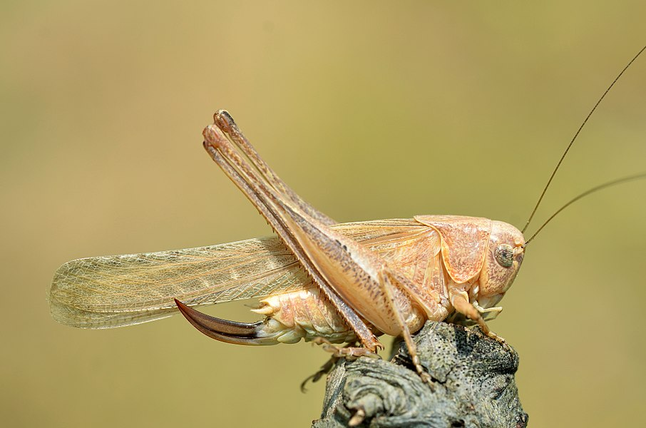 Platycleis intermedia female