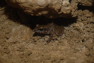 Island forest frog species of amphibian