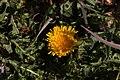 Pleney-Taraxacum-20140314.jpg