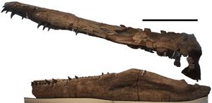 Pliosaurus - P. kevani holotype skull