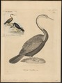 Plotus levaillantii - 1700-1880 - Print - Iconographia Zoologica - Special Collections University of Amsterdam - UBA01 IZ18000033.tif