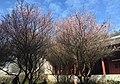 Plum blossom garden in Linyang Temple (20170128135441).jpg