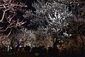 Plum forest of the night ume flowers festival (Kairaku-en Garden .2019) in Mito, Ibaraki.jpg