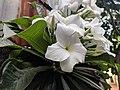 Plumeria pudica 12.jpg