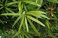 Podocarpus elatus kz01.jpg