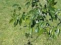 Poecilanthe parviflora 1.jpg