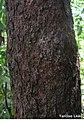 Pogonophora schomburgkiana, cocão - Flickr - Tarciso Leão (7).jpg