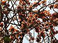 Polax (Assamese- পলাশ) (3300774064).jpg