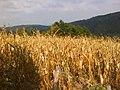 Polje kukuruza u Dulenu.JPG