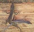 Polychrotidae mating 02.jpg