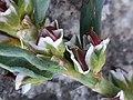 Polygonum oxyspermum subsp. raii inflorescence (07).jpg