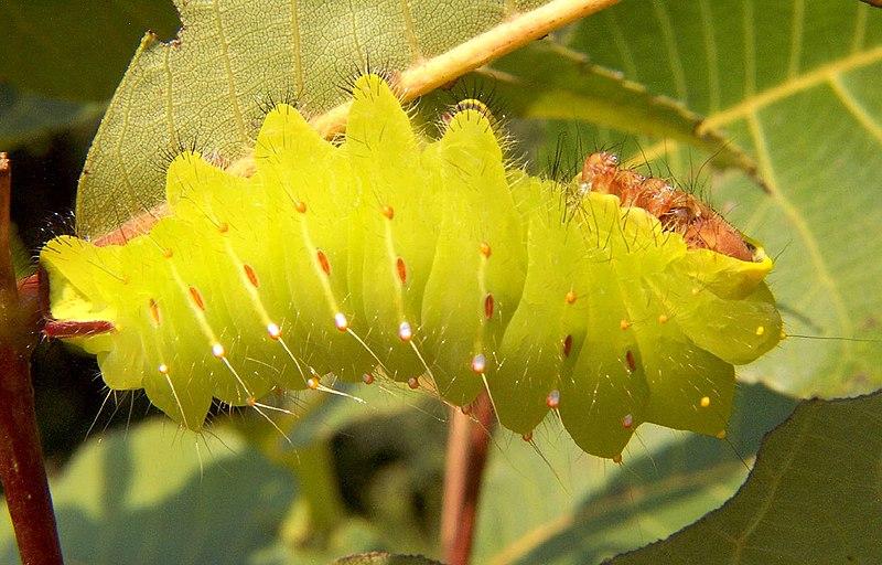 800px-Polyphemus_caterpillar_big.jpg