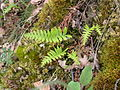 Polypodium vulgare leaves.JPG