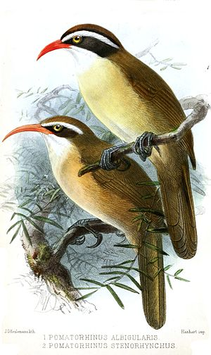 Red-billed scimitar babbler - Above, Pomatorhinus ferruginosus albogularis and below, Pomatorhinus ochraceiceps stenorhynchus