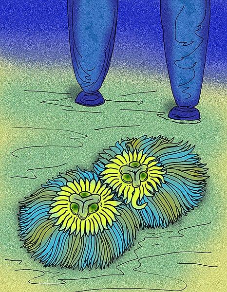 File:Pomoria corolliformis.jpg