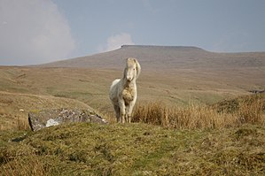 Natural landscape - A Welsh mountain pony in the Brecon Beacons National park, Wales. Sheep and cattle also graze on this upland