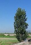 PopulusAblaPyramidalis.jpg