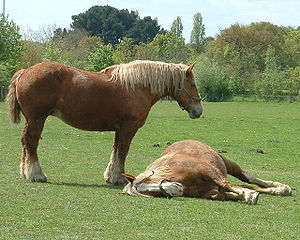 Breton horse - Postier Bretons at rest in pasture
