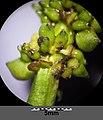 Potamogeton nodosus sl73.jpg