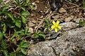 Potentilla indica (flower s3).jpg