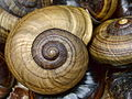 Powelliphanta hochstetteri bicolor shell.jpg