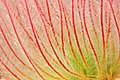Prairie Smoke (Geum triflorum) Closeup (12758484034).jpg