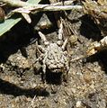 Predatory rake mite (Caeculidae), Uniondale, South Africa - 20101016.jpg